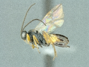 (Cotesia melitaearum - CNCHYM49300)  @13 [ ] CreativeCommons - Attribution Share-Alike (2018) Unspecified Canadian National Collection of Insects, Arachnids and Nematodes