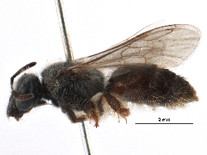 (Lasioglossum aff. CtenoKEN1 - 06711D12-KEN)  @11 [ ] CreativeCommons - Attribution Non-Commercial Share-Alike (2016) CBG Photography Group Centre for Biodiversity Genomics