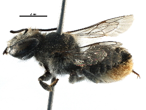(Megachile frontalis - 06747F12-ZAF)  @13 [ ] CreativeCommons - Attribution Non-Commercial Share-Alike (2016) CBG Photography Group Centre for Biodiversity Genomics