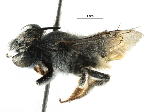 (Megachile ZAF05 - 06747G08-ZAF)  @14 [ ] CreativeCommons - Attribution Non-Commercial Share-Alike (2016) CBG Photography Group Centre for Biodiversity Genomics