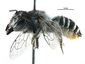 (Megachile ZAF07 - 06747H02-ZAF)  @15 [ ] CreativeCommons - Attribution Non-Commercial Share-Alike (2016) CBG Photography Group Centre for Biodiversity Genomics