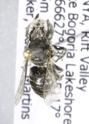 (Megachile KEN21 - CCDB-15283 H07)  @12 [ ] CreativeCommons - Attribution Non-Commercial Share-Alike (2011) Packer Collection York University York University