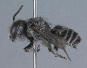 (Megachile concinna - 04-DR-0778)  @15 [ ] CreativeCommons - Attribution Non-Commercial Share-Alike (2010) Cory S. Sheffield York University