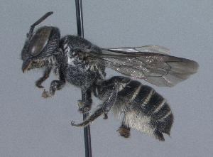 (Megachile exilis - 06-IL-0776)  @14 [ ] CreativeCommons - Attribution Non-Commercial Share-Alike (2010) Cory S. Sheffield York University