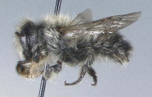 (Megachile circumcincta - 03-NT-0026)  @15 [ ] CreativeCommons - Attribution Non-Commercial Share-Alike (2010) Cory S. Sheffield York University
