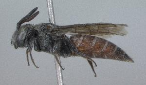 (Dioxys pacifica - 07-ID-1377)  @14 [ ] CreativeCommons - Attribution Non-Commercial Share-Alike (2010) Cory S. Sheffield York University
