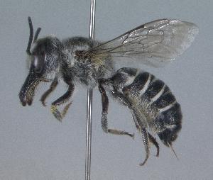 (Megachile adelphodonta - 05-AZ-1548)  @14 [ ] CreativeCommons - Attribution Non-Commercial Share-Alike (2010) Cory S. Sheffield York University