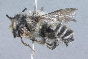 (Megachile agustini - 07-CO-1527)  @15 [ ] CreativeCommons - Attribution Non-Commercial Share-Alike (2010) Cory S. Sheffield York University