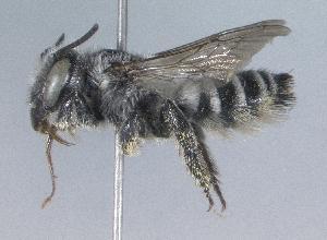 (Megachile anograe - 07-CO-1526)  @15 [ ] CreativeCommons - Attribution Non-Commercial Share-Alike (2010) Cory S. Sheffield York University