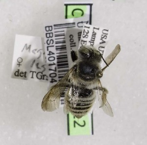 (Megachile legalis - CCDB-03768 B12)  @13 [ ] CreativeCommons - Attribution Non-Commercial Share-Alike (2010) Cory S. Sheffield York University