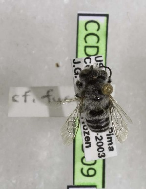 (Megachile fucata - CCDB-03768 B09)  @13 [ ] CreativeCommons - Attribution Non-Commercial Share-Alike (2010) Cory S. Sheffield York University