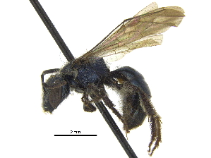 (Lasioglossum alexanderi - CCDB-09916 F12)  @11 [ ] CreativeCommons - Attribution Non-Commercial Share-Alike (2016) CBG Photography Group Centre for Biodiversity Genomics