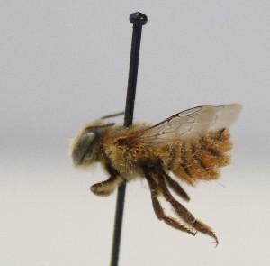 (Megachile schmiedeknechti - 1672.MB)  @11 [ ] Copyright (2019) MCAST Unspecified