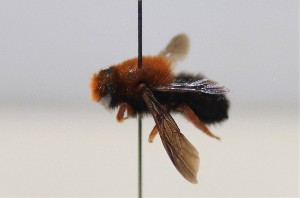 (Megachile sicula - 472.MB)  @11 [ ] Copyright (2019) MCAST Unspecified