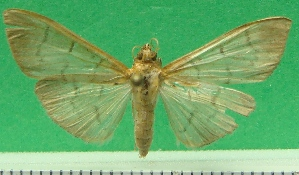 (Syllepte pauperalis - KLM Lep 09650)  @11 [ ] CreativeCommons - Attribution Non-Commercial Share-Alike (2016) (2017) Christian Wieser Landesmuseum Kaernten
