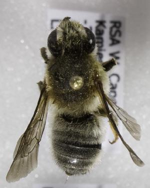 (Megachile pruinosone - CCDB-15281 F04)  @11 [ ] CreativeCommons - Attribution Non-Commercial Share-Alike (2011) Packer Collection York University York University