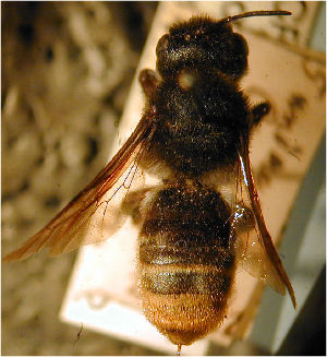 (Megachile cornigera - MegBOL 0016)  @11 [ ] CreativeCommons - Attribution Non-Commercial Share-Alike (2011) Connal Eardley ARC-Plant Protection Research Institute