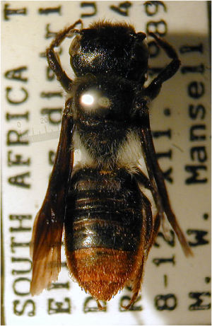 (Megachile braunsiana - MegBOL 0017)  @11 [ ] CreativeCommons - Attribution Non-Commercial Share-Alike (2011) Connal Eardley ARC-Plant Protection Research Institute