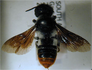 (Megachile rufipennis - MegBOL 0026)  @11 [ ] CreativeCommons - Attribution Non-Commercial Share-Alike (2011) Connal Eardley ARC-Plant Protection Research Institute