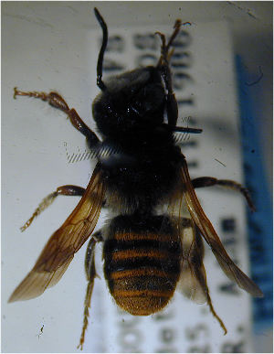 (Megachile rufiventris - MegBOL 0029)  @11 [ ] CreativeCommons - Attribution Non-Commercial Share-Alike (2011) Connal Eardley ARC-Plant Protection Research Institute