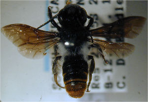 (Megachile sheppardi - MegBOL 0031)  @11 [ ] CreativeCommons - Attribution Non-Commercial Share-Alike (2011) Connal Eardley ARC-Plant Protection Research Institute