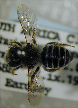 (Megachile whiteana - MegBOL 0047)  @11 [ ] CreativeCommons - Attribution Non-Commercial Share-Alike (2011) Connal Eardley ARC-Plant Protection Research Institute