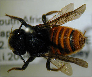 (Megachile fervida - MegBOL 0049)  @12 [ ] CreativeCommons - Attribution Non-Commercial Share-Alike (2011) Connal Eardley ARC-Plant Protection Research Institute