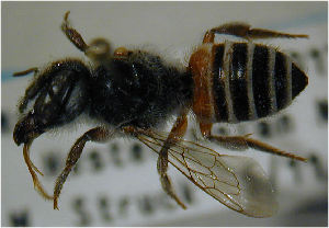 (Megachile louisae - MegBOL 0057)  @11 [ ] CreativeCommons - Attribution Non-Commercial Share-Alike (2011) Connal Eardley ARC-Plant Protection Research Institute