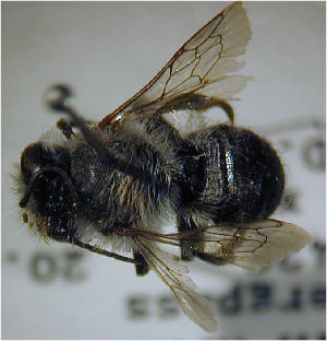 (Megachile sinuata - MegBOL 0069)  @11 [ ] CreativeCommons - Attribution Non-Commercial Share-Alike (2011) Connal Eardley ARC-Plant Protection Research Institute