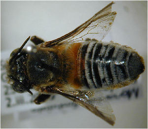 (Megachile fimbriata - MegBOL 0070)  @11 [ ] CreativeCommons - Attribution Non-Commercial Share-Alike (2011) Connal Eardley ARC-Plant Protection Research Institute