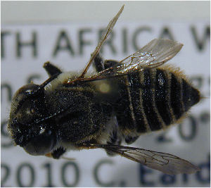 (Megachile malangensis - MegBOL 0078)  @13 [ ] CreativeCommons - Attribution Non-Commercial Share-Alike (2011) Connal Eardley ARC-Plant Protection Research Institute