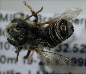 (Megachile admixta - MegBOL 0094)  @13 [ ] CreativeCommons - Attribution Non-Commercial Share-Alike (2011) Connal Eardley ARC-Plant Protection Research Institute