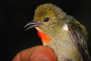 (Dicaeidae - IRD LGR-053.2)  @11 [ ] CreativeCommons – Attribution Non-Commercial Share-Alike (2014) Hidayat Hashari Indonesian Institute of Sciences, Museum Zoologicum Bogoriense