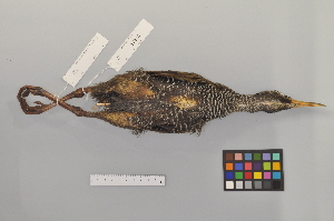 (Gallirallus - NSMT-DNA8432)  @14 [ ] Copyright (2014) I. Nishiumi National Museum of Nature and Science, Tokyo