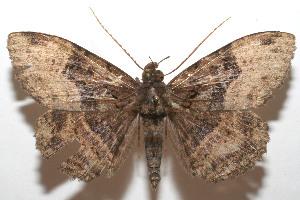 (Ramphia albizonaDHJ04 - 07-SRNP-105925)  @13 [ ] CreativeCommons - Attribution Non-Commercial Share-Alike (2008) Daniel H. Janzen Guanacaste Dry Forest Conservation Fund