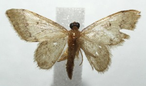 (Idaea BioLep373 - 16-SRNP-105171)  @14 [ ] CreativeCommons – Attribution Non-Commercial Share-Alike (2017) Daniel H. Janzen Guanacaste Dry Forest Conservation Fund