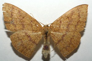(Cyclophora BioLep571 - 16-SRNP-105331)  @14 [ ] CreativeCommons – Attribution Non-Commercial Share-Alike (2017) Daniel H. Janzen Guanacaste Dry Forest Conservation Fund
