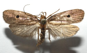 (elachBioLep01 BioLep4418 - 16-SRNP-105459)  @11 [ ] CreativeCommons – Attribution Non-Commercial Share-Alike (2017) Daniel H. Janzen Guanacaste Dry Forest Conservation Fund
