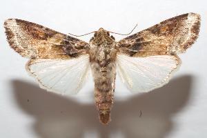 (Spodoptera latifascia - 06-SRNP-105156)  @16 [ ] CreativeCommons - Attribution Non-Commercial Share-Alike (2007) Daniel H. Janzen Guanacaste Dry Forest Conservation Fund