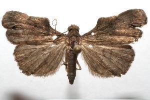 (Herminiinae - 06-SRNP-109399)  @16 [ ] CreativeCommons - Attribution Non-Commercial Share-Alike (2007) Daniel H. Janzen Guanacaste Dry Forest Conservation Fund