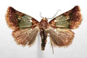 (Eustrotia roseoviridis - 07-SRNP-101346)  @15 [ ] CreativeCommons - Attribution Non-Commercial Share-Alike (2007) Daniel H. Janzen Guanacaste Dry Forest Conservation Fund