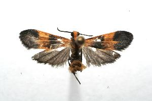 (Lycomorphodes correbioides - 07-SRNP-102727)  @13 [ ] CreativeCommons - Attribution Non-Commercial Share-Alike (2007) Daniel H. Janzen Guanacaste Dry Forest Conservation Fund