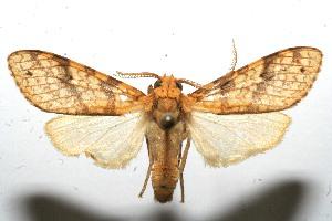 (Lophocampa catenulata - 10-SRNP-105569)  @14 [ ] CreativeCommons - Attribution Non-Commercial Share-Alike (2010) Daniel H. Janzen Guanacaste Dry Forest Conservation Fund
