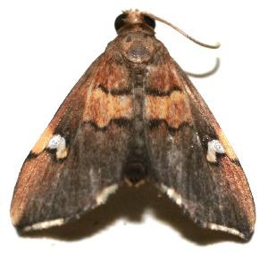 (Deuterophysa BioLep490 - 10-SRNP-110456)  @14 [ ] CreativeCommons - Attribution Non-Commercial Share-Alike (2010) Daniel H. Janzen Guanacaste Dry Forest Conservation Fund