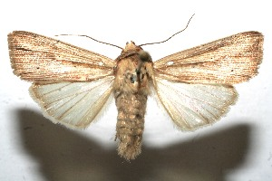 (Leucania dorsalis - 10-SRNP-111671)  @15 [ ] CreativeCommons - Attribution Non-Commercial Share-Alike (2010) Daniel H. Janzen Guanacaste Dry Forest Conservation Fund