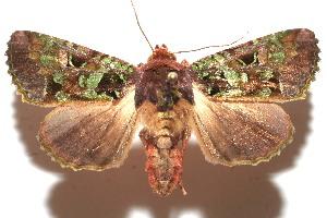 (Paratrachea BioLep281 - 10-SRNP-111691)  @15 [ ] CreativeCommons - Attribution Non-Commercial Share-Alike (2010) Daniel H. Janzen Guanacaste Dry Forest Conservation Fund