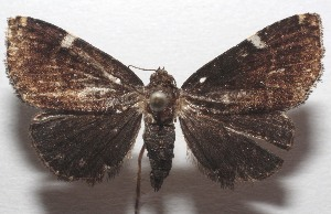 (Eustrotia BioLep88 - 18-SRNP-103326)  @11 [ ] CreativeCommons – Attribution Non-Commercial Share-Alike (2019) Daniel H. Janzen Guanacaste Dry Forest Conservation Fund