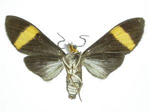 (Epidesma Espinoza02 - INBIOCRI002442601)  @11 [ ] CreativeCommons – Attribution Non-Commercial Share-Alike (2019) Daniel H. Janzen Guanacaste Dry Forest Conservation Fund