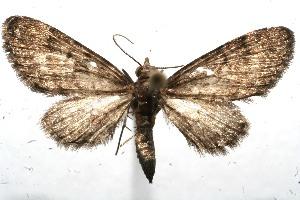 (Eupithecia Janzen211 - 11-SRNP-101258)  @14 [ ] CreativeCommons - Attribution Non-Commercial Share-Alike (2011) Daniel H. Janzen Guanacaste Dry Forest Conservation Fund