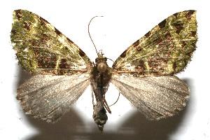 (Erebochlora - 11-SRNP-101266)  @14 [ ] CreativeCommons - Attribution Non-Commercial Share-Alike (2011) Daniel H. Janzen Guanacaste Dry Forest Conservation Fund